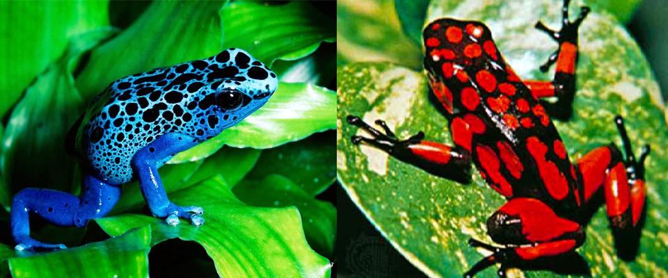 Avistamiento de ranas de colores | Nautilos Pijiba Lodge